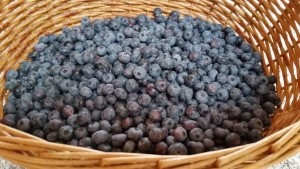 Just picked organic blue berries from Thompson Finch farm
