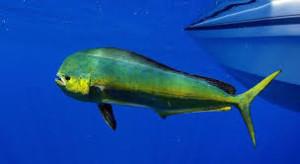 The Dorado fish.