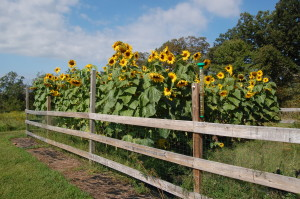 Sunflower Garden from last year